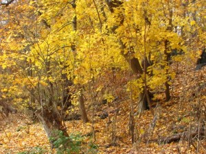 Glowing gold leaves in the Wissahickon Valley Park. Photo by Donna L. Long.