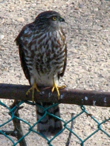 A Sharp-shinned Hawk perches on my garden fence. Photo by Donna L. Long