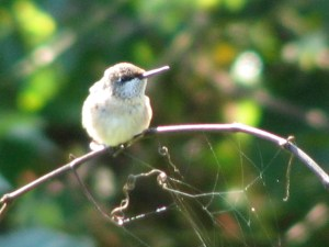 Hummingbird Migration Dates