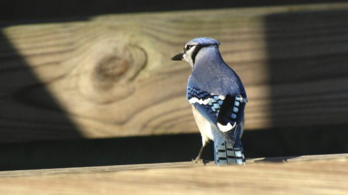 Blue jay at Fort Washington State Park . Photo courtesy of Donna L. Long