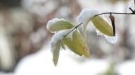 Yellow WIld Indigo (Baptisia Tinctoria) covered in snow, in my garden.