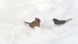 A female Cardinal and a Dark-eyed Junco in the snow.