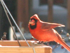 A cardinal feeds in my garden.