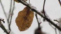 Yellow birch leaf hanging from a icy branch