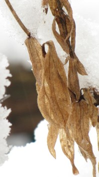Dead, dry papery leaves against the snow