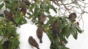 House Sparrows (Passer domesticus) in my garden. Photo by Donna Lo. Long.