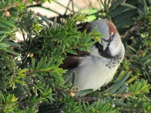Male House Sparrow (Passer domesticus). Photo by Donna L. Long