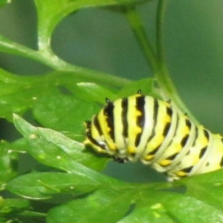 black swallowtail butterfly feeding on parsley