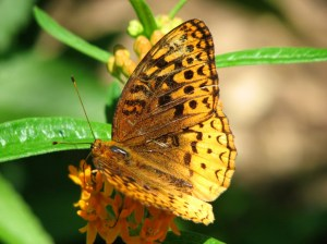 great spangled fritillary butterly