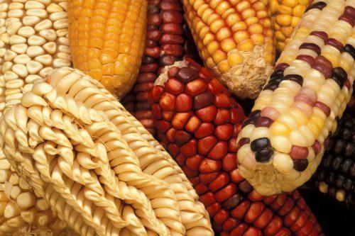 food-corn (usda.gov)