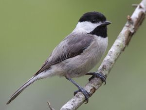 Carolina Chickadee By Dan Pancamo (Flickr: Carolina Chickadee) [CC BY-SA 2.0 (https://creativecommons.org/licenses/by-sa/2.0)], via Wikimedia Commons