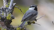 bird - Mountain_Chickadee_(14422009880) By Andy Reago & Chrissy McClarren (Mountain Chickadee) [CC BY 2.0 (http://creativecommons.org/licenses/by/2.0)], via Wikimedia Commons