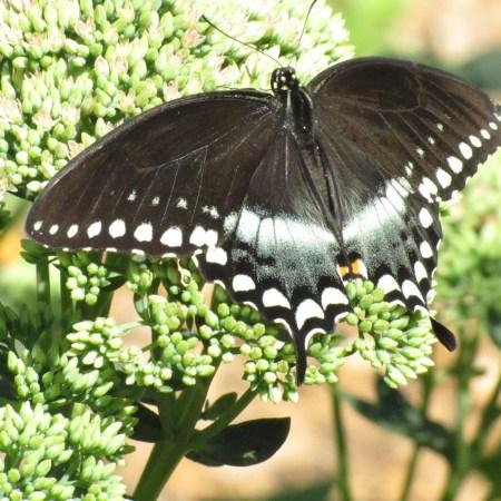 Spicebush Swallowtail (Papilio troilus) - 2