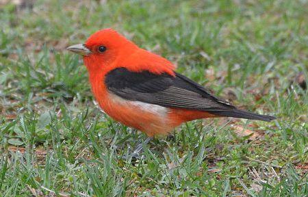 birds_scarlet_tanager