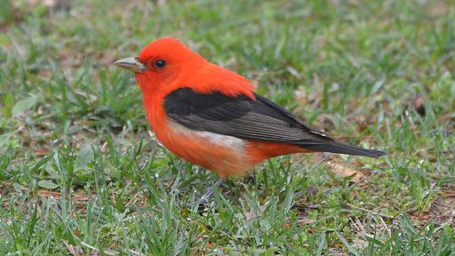 birds_scarlet_tanager