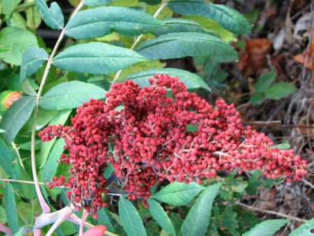 berries of Smooth Sumac (Rhus glabra) Photo by Donna L. Long.