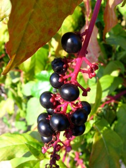 The late-summer berries of native Pokeweed (Phytolacca americana). Photo by Donna L. Long.