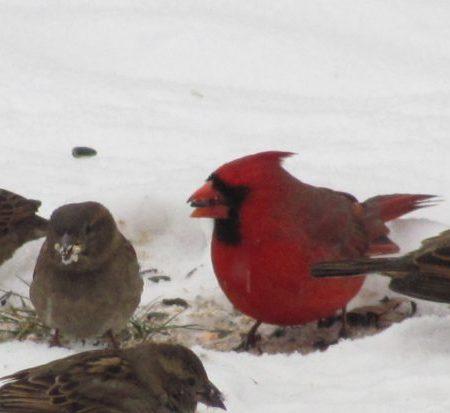birds_cardinal_dark-eyed_junco