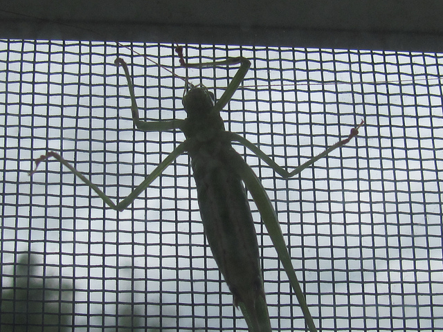Fork-tailed Katydid (Scuddera furcata) stuck on my bedroom window screen. Photo by Donna Long.