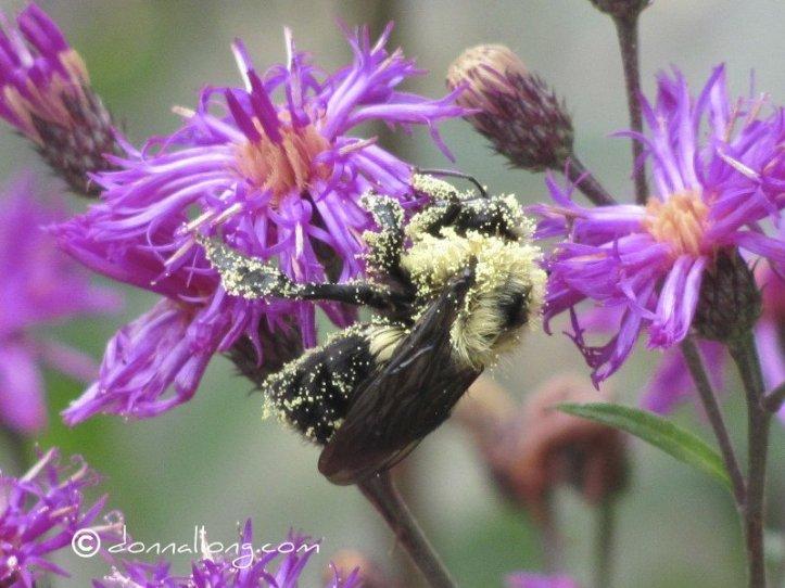 A Pollen leaden American Bumble Bee (Bombus pennsylvanicus). Photo by Donna L. Long.