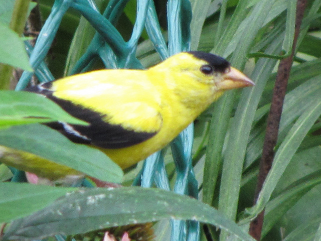 American goldfinch in front garden