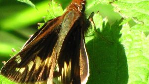 My best guess is a Dotted Skipper (Hesperia attalus) in Philadelphia area. Photo by Donna L. Long