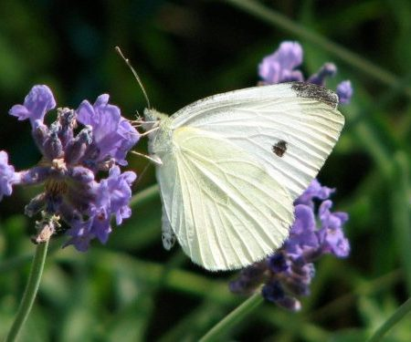 Cabbage White (Pieris rapae) - female. Whites and Sulphurs (Pieridae) Butterfly Family. Photo by Donna Long.