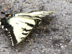 Zebra Swallowtail (Eurytides marcellus) Horticultural Center, Fairmount Park, Philadelphia. Photo by Donna L. Long.