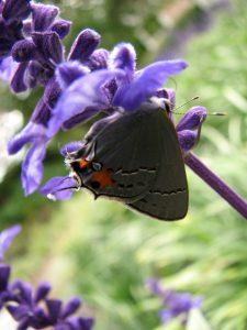 Gray Hairstreak Butterfly (Strymon melinus) - Gossamer-Wings Family (Lycaenidae). Photo by Donna L. Long.