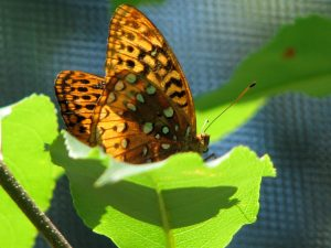 Great Spangled Fritillary (Speyeria cybele) - Brushfoot Family (Nymphalids) Photo by Donna L. Long.