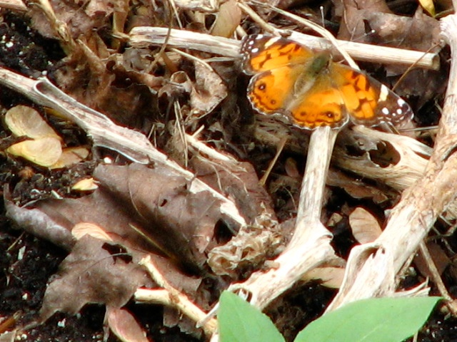 Painted Lady Butterfly (Vanessa cardui) Brushfoot (Nymphalini) Family. Photo by Donna L. Long.