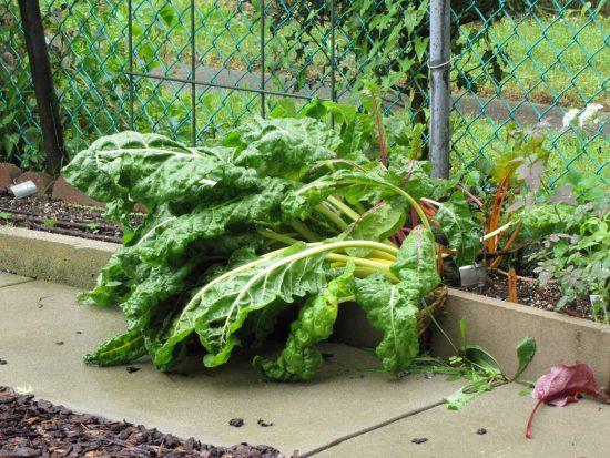 swiss chard beaten down by hurricane rains in my garden