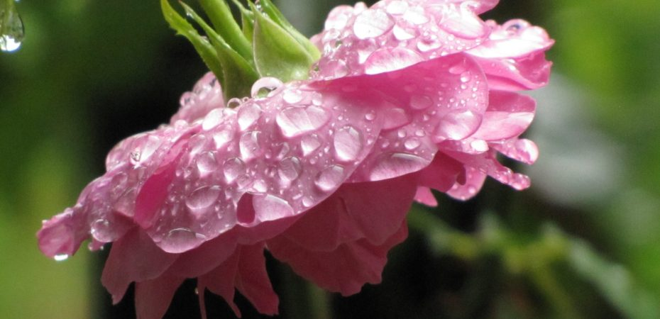 "raindrops on David Austin English Rose, ""Mary Rose"" in my garden"
