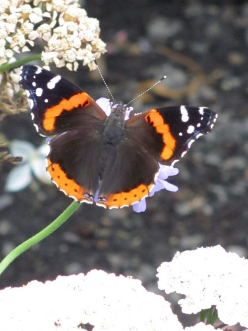 Red Admiral Butterfly (Vanessa atalanta) - Brushfoot Family (Nymphalini). Photo by Donna L. Long.