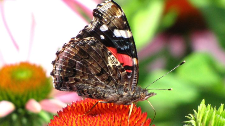 Red Admiral Butterfly (Vanessa atalanta) Photo by Donna L. Long.