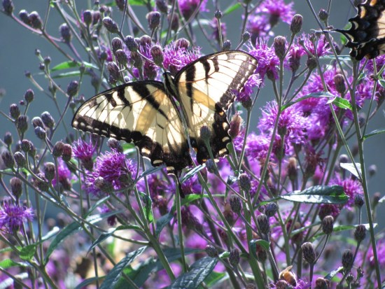 Zebra Swallowtail butterfly (Eurytides marcellus) Swallowtail (Papilionidae) Family. Photo by Donna L. Long.