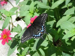 Black Swallowtail Butterfly (Papilio polyxenes) Swallowtail Family (Papilionidae). Photo by Donna L. Long.