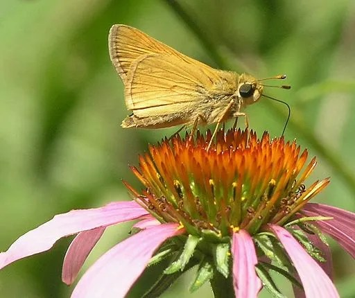 Delaware Skipper Butterfly (Anatrytone_logan). Skipper Butterfly Family. By Marvin Smith via Wikimedia Commons.