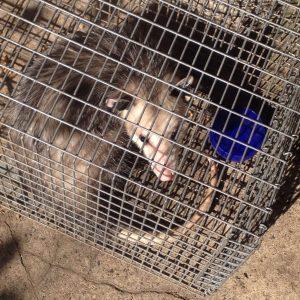 Opossum caught in a Hav-a-Hart trap in my garden.