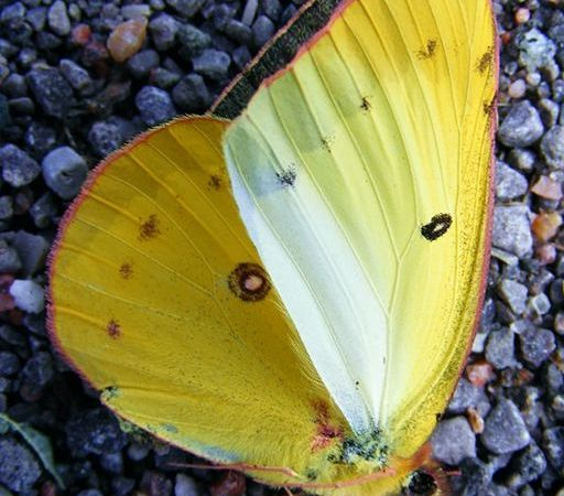 Cloudless Sulphur (Phoebis sennae) Butterfly. White and Sulphur butterfly family. [photo by Paul B. Toman. on Wikimedia]
