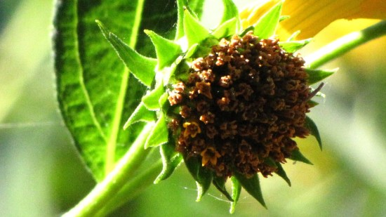 The spent flower head of a sunflower (Helianthus spp.) in early autumn. Photo by Donna L. Long.