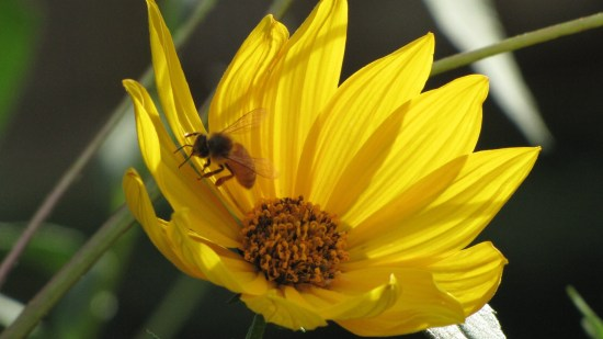 A female sweat bee (females have red abdomen's) at work in a blossom of sunflower (Helianthus spp.) in the early autumn sun. Photo by Donna L. Long.