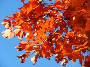 Maple tree in brilliant fall color. Photo by Donna L. Long.