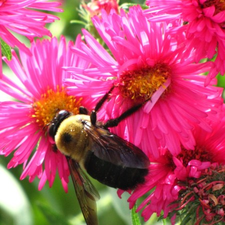 Large Carpenter Bee (Xylcopa spp.) with new blossoms, fertiilized and blossoms going to seed of a New England Aster (Symphyotricum novae-angliae) in my garden.
