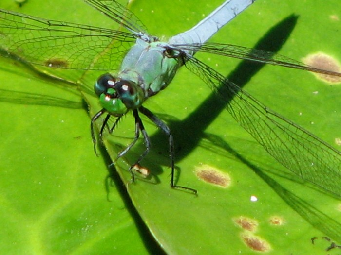 Common Green Darner Dragonfly. Photo by Donna L. Long.