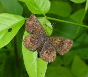 Metalmark Butterfly Family