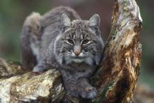 Bobcat (Lynx rufus) sitting in a tree. Photo by USFWS/public domain.