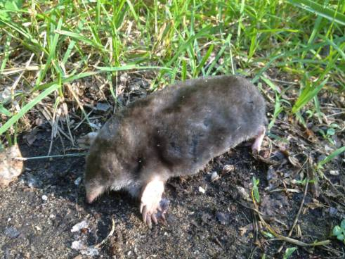 Eastern mole (Scalopus aquaticus). Photo by USFWS/public domain.