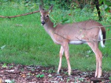 White-tailed Deer (Odocoileus virginicus) 51 - 82 inches long. Photo by Donna L. Long.