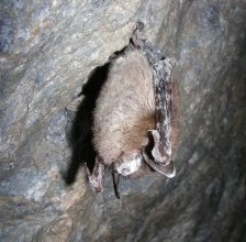 Little Brown Bat (Myotis lucifugus) Photo by USFWS/public domain.